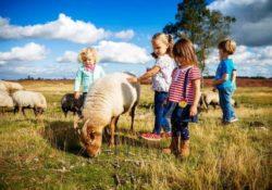 schapen op het dwingelderveld met kinderen