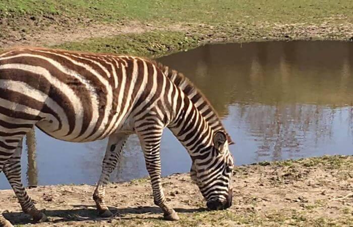 zebra in wildlands emmen